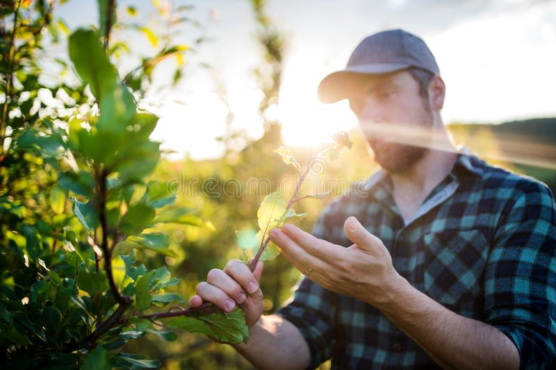 A mature farmer working in orchard at sunset. royalty free stock photography