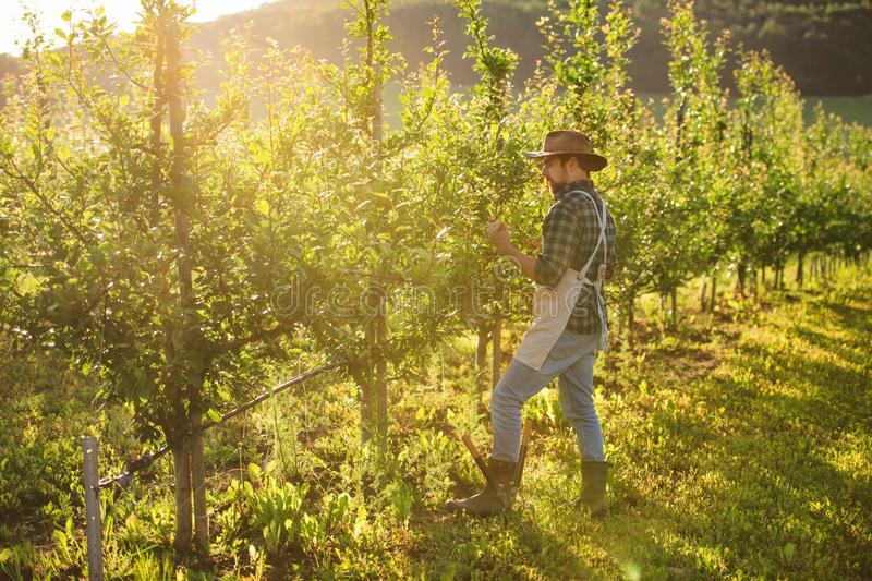 A mature farmer working in orchard at sunset. Copy space. royalty free stock image