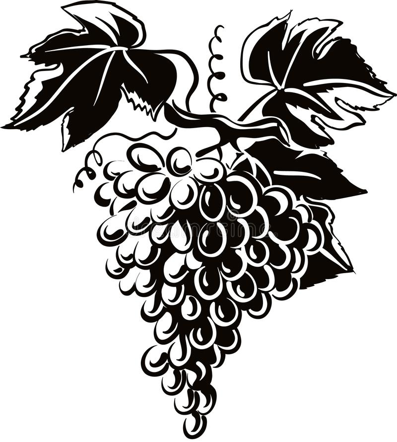 Mature grapes on white. Mature grapes just picked in the vineyard vector illustration