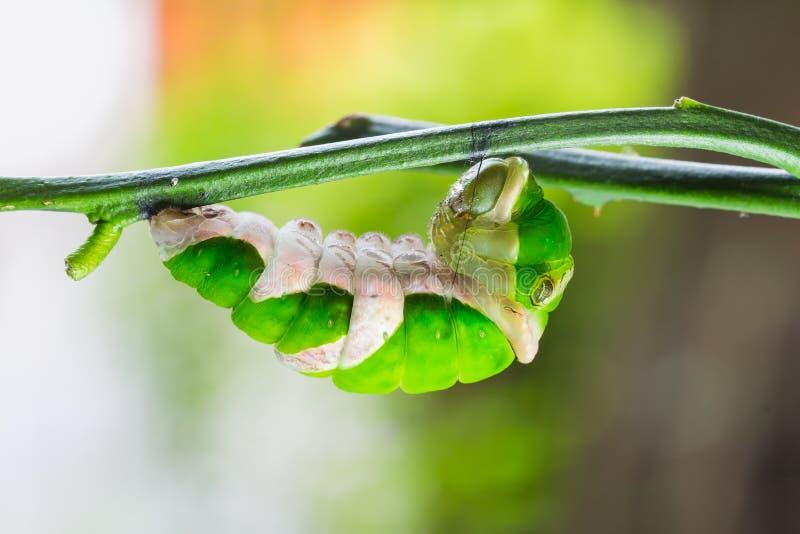 Mature great mormon caterpillar. Mature great mormon (Papilio memnon agenor) caterpillar prepare itself before its pupation stock image