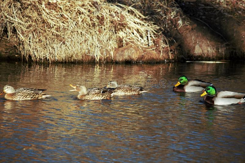 Mature Hen and drake mallards talking it up on the Boise river. Brush in the background royalty free stock photo