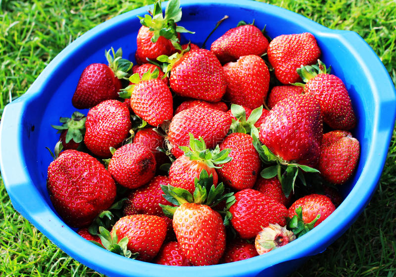 Mature, homemade strawberry from the garden royalty free stock photo