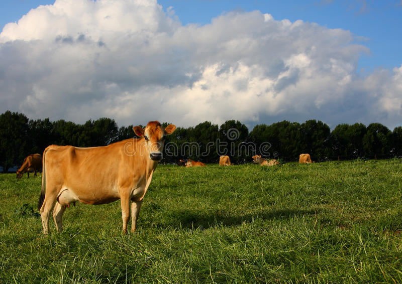 Download Mature Jersey Cow In Kikuyu Field Stock Image - Image: 13625079