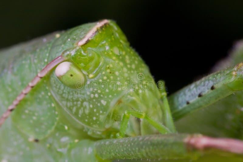 Download A Mature Katydid/bush Cricket Stock Images - Image: 10962484