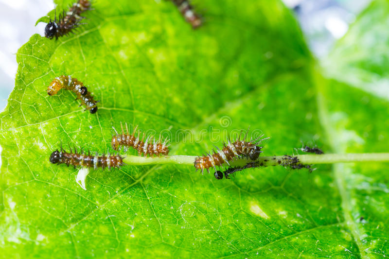 Mature larva before emerge from slough. On green leaf royalty free stock images
