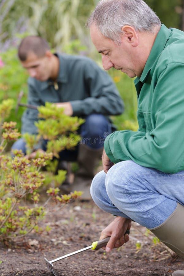 Mature male gardener weeding flower beds stock images