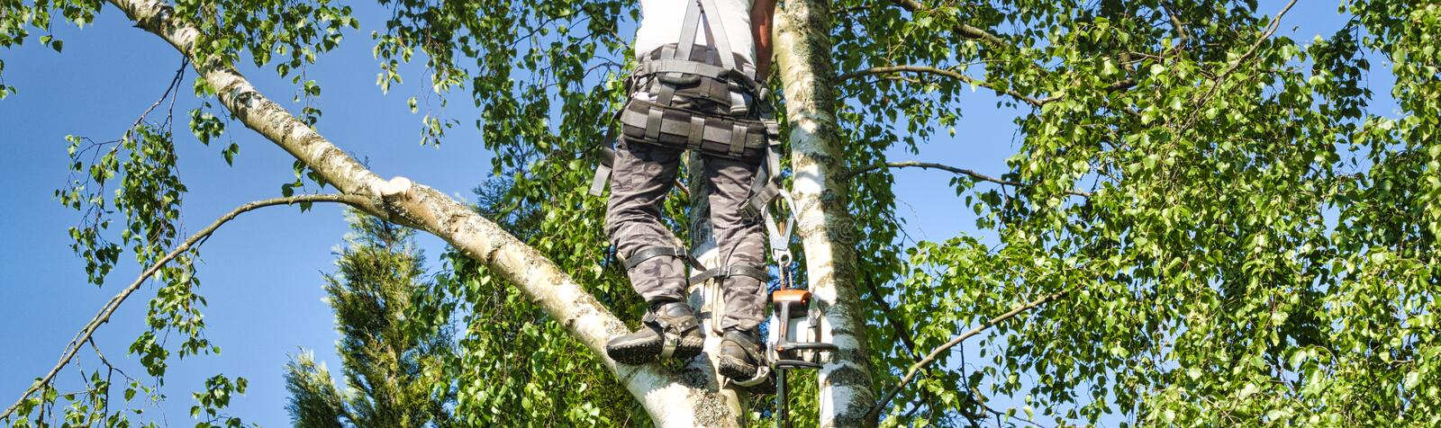 Mature male tree trimmer high in birch tree, 30 meters from ground, cutting branches with gas powered chainsaw and attached with. Close-up mature professional royalty free stock images
