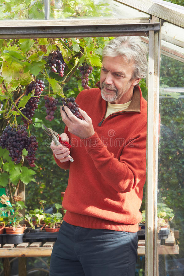 Mature Man Cultivating Grapes In Greenhouse. Looking Off Camera royalty free stock photography