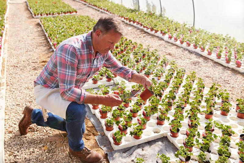 Mature Man Working In Garden Center Greenhouse Holding Digital Tablet And Checking Plants royalty free stock photos