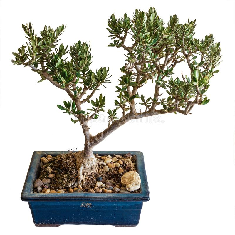 A mature miniature olive tree, an example of bonsai stock image