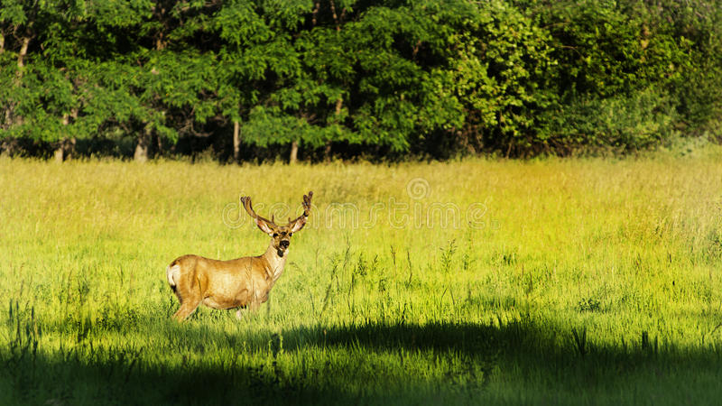 Mature Mule Deer Buck In Velvet stock photos