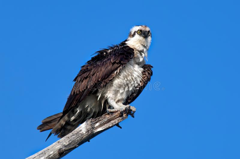 A mature osprey ruffles his feathers. Perched on a dead branch against a clear, blue sky royalty free stock photo