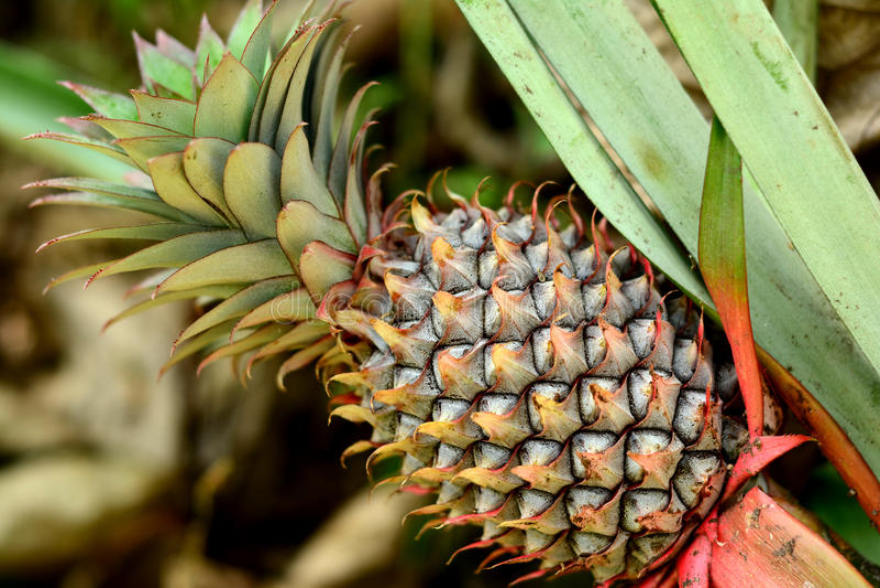 Mature pineapple royalty free stock photo