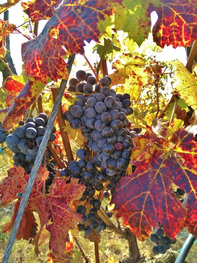 Mature red grape with autumn color of leaves royalty free stock photo