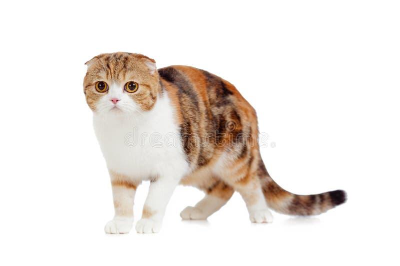Mature scottish fold cat. Isolated stock photos
