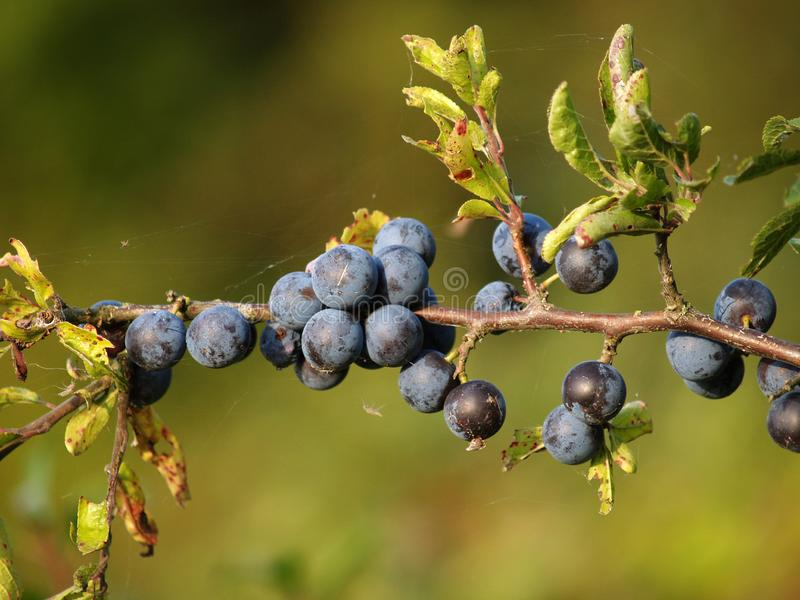 Mature ternary fruit Prunus spinosa L. close-up stock photo