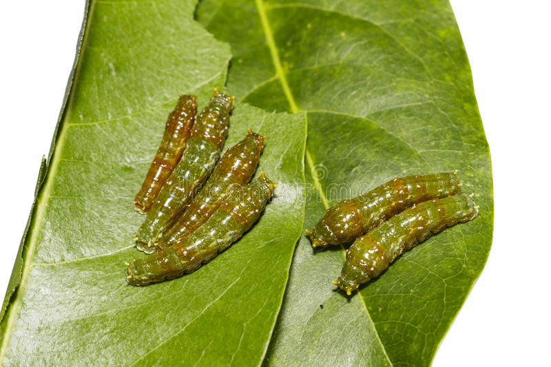 Mature 4th instar caterpillars of banded swallowtail butterfly ( stock images