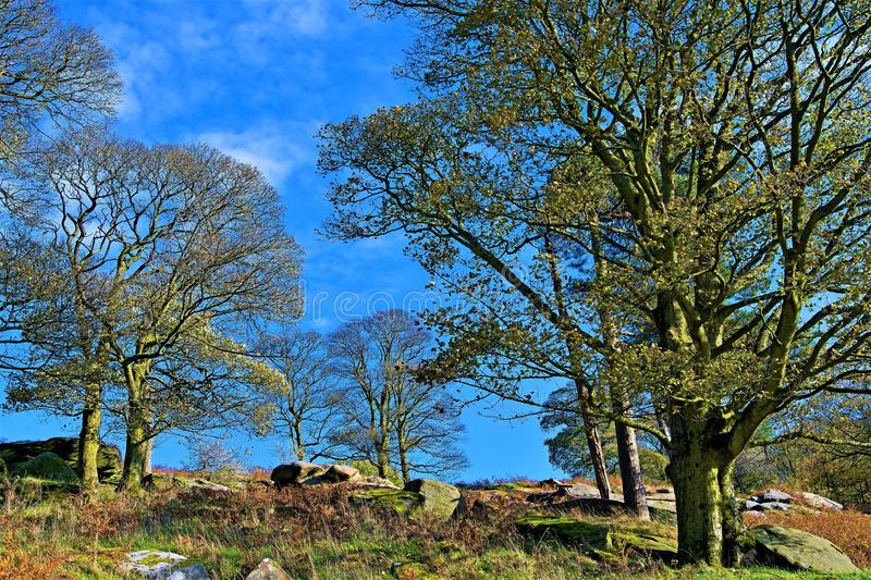 Mature trees a plenty in the Autumn sunlight, within the Longshaw Estate, near Padley Gorge, Grindleford, East Midlands. Taken to capture the rich autumnal royalty free stock photo