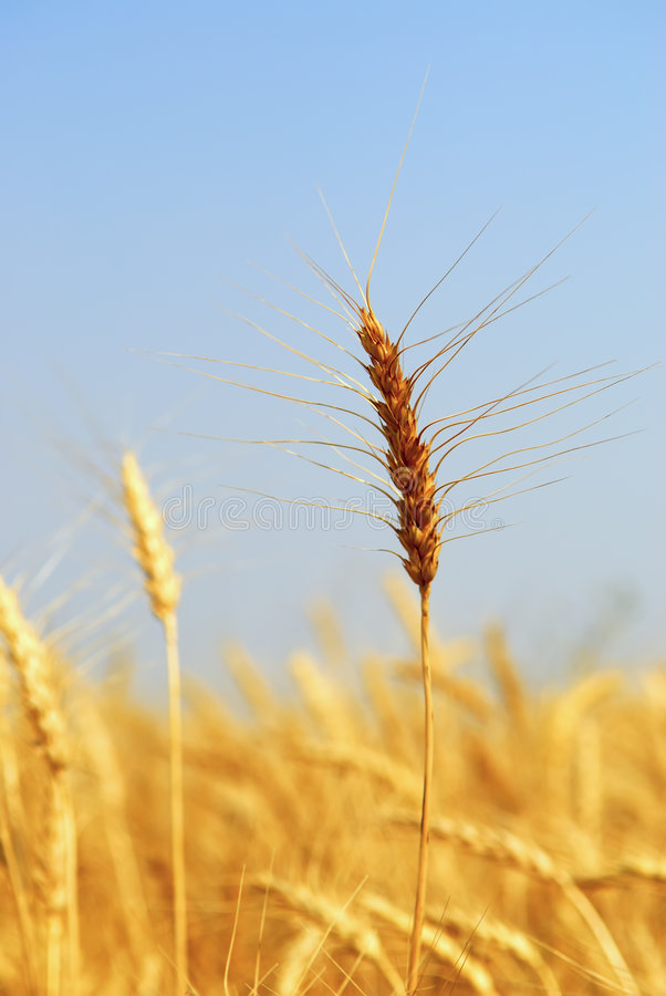 Download Mature Winter Wheat stock photo. Image of agricultural - 2993214