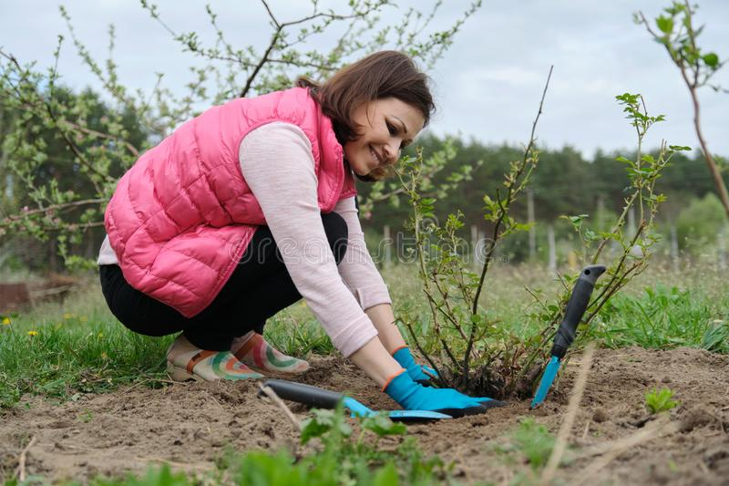 Mature woman in gloves working the soil under rose bush with garden tools, spring gardening royalty free stock photography