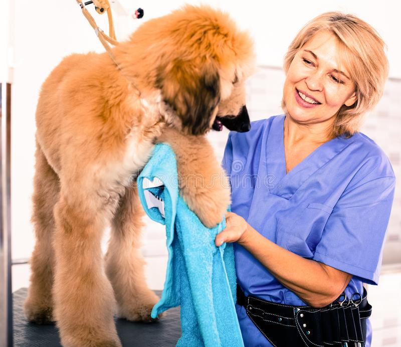 Mature woman hairdresser wipes puppy of Afghan hound in hairdresser for dogs. Woman hairdresser wipes puppy of Afghan hound in hairdresser for dogs royalty free stock photography