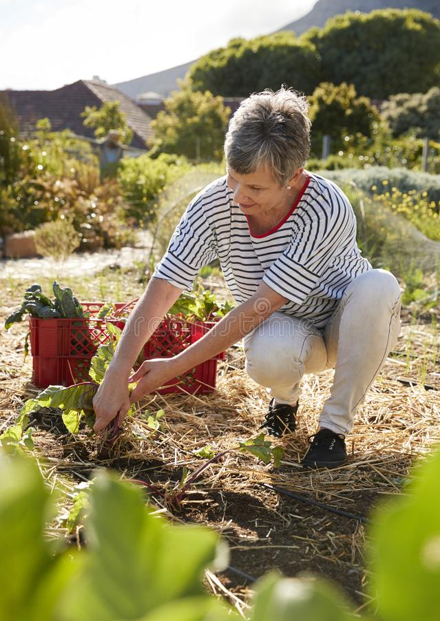 Mature Woman Harvesting Beetroot On Community Allotment stock photography