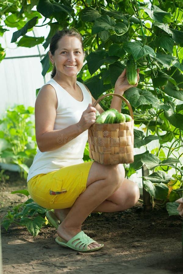 Mature woman harvesting cucumbers stock images