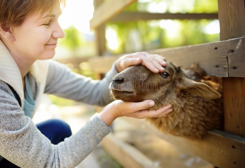 Mature woman petting sheep. People in petting zoo. Person having fun in farm with animals. Fun for urban citizen stock images
