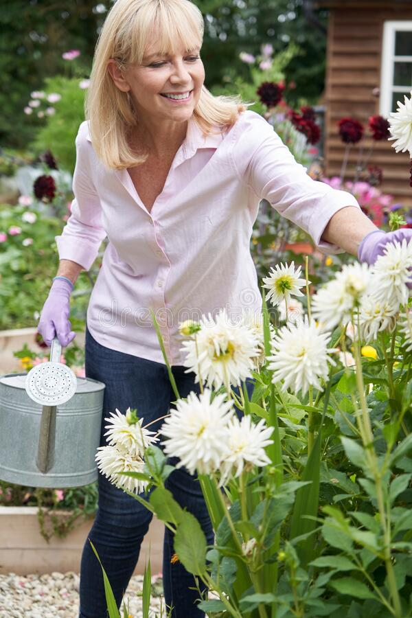 Mature Woman Watering Dahlia Flowers In Garden At Home royalty free stock photography