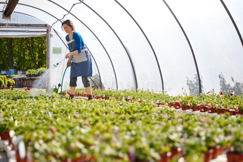 Mature Woman Working In Garden Center Watering Plants In Greenhouse royalty free stock image