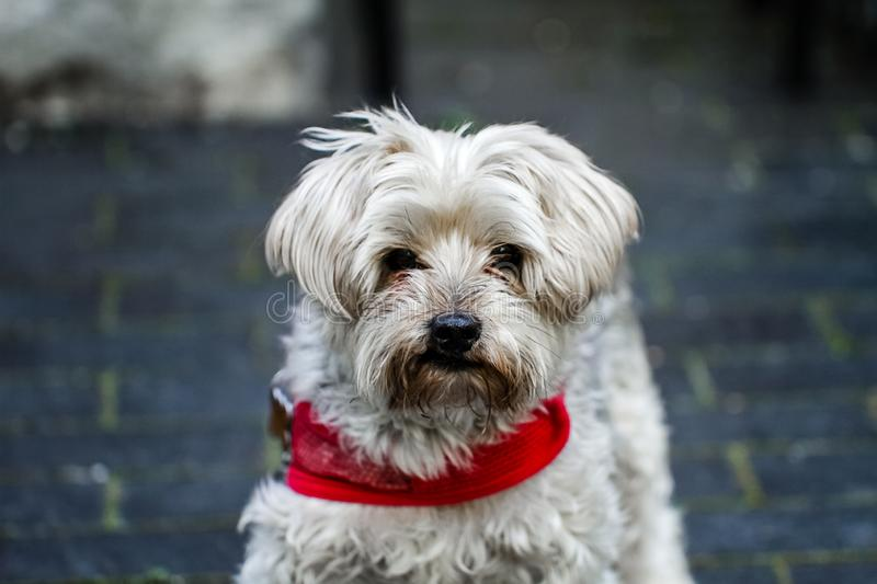 A Mature yorkie wearing a red collar outdoors.  A loved family pet for many years in a loving environment and a beautiful home and royalty free stock photos