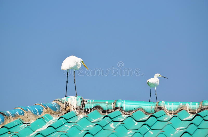 Mature & young Great White Egrets on a roof looking right stock photography