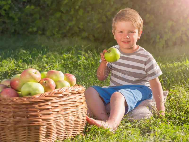 Matured apples in basket. Kid eating apple. Harvesting concept. stock image