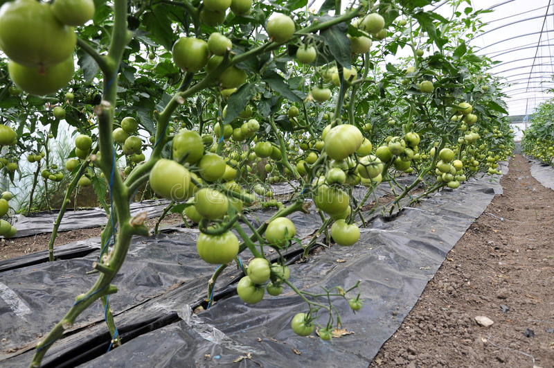 Maturi i pomodori nel greenhouse_2 fotografia stock