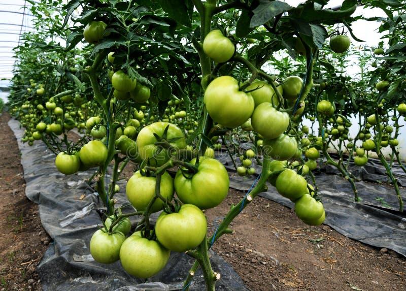 Maturi i pomodori nel greenhouse_3 fotografia stock