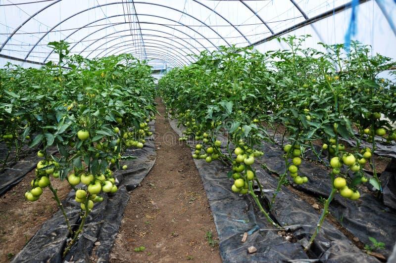 Maturi i pomodori nel greenhouse_4 fotografia stock libera da diritti