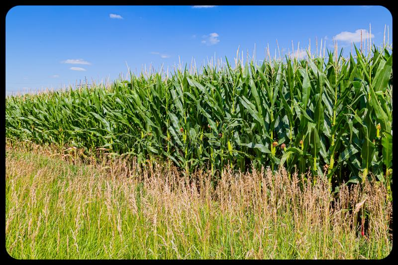 Maturing Corn maize field with corn ears, silk and tassels royalty free stock photo