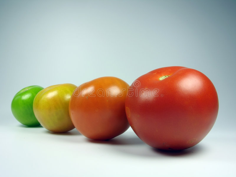 Maturing tomatoes. From green to red stock photo