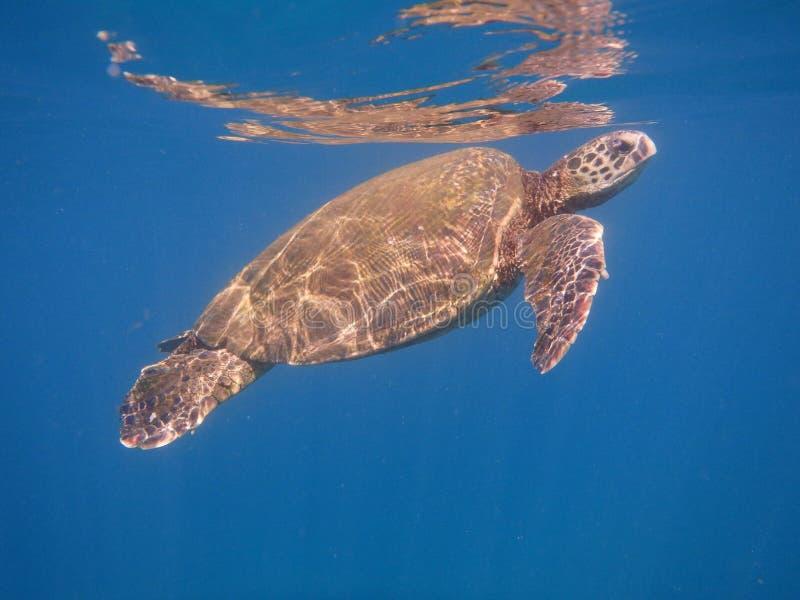 Maui żółwia pierwszy oddech out od rafy obraz stock