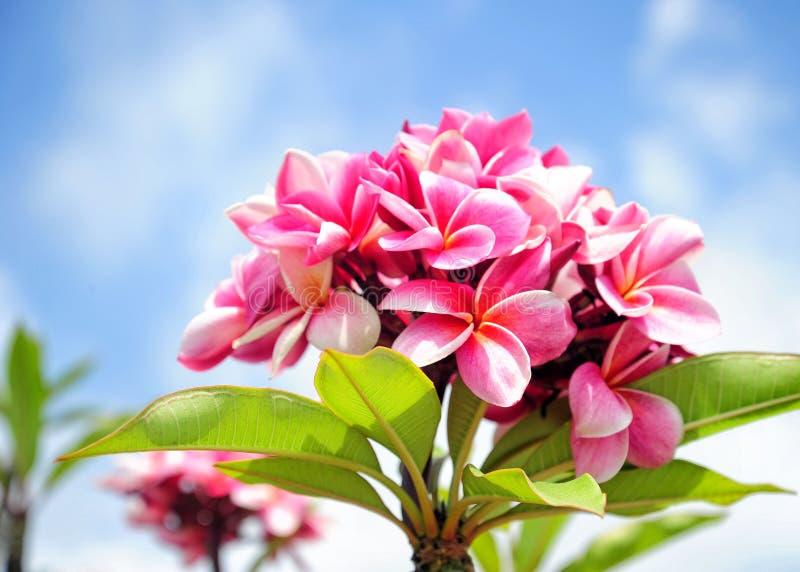 Maui flowers. Beautiful pink flowers, maui, Hawaii royalty free stock photo