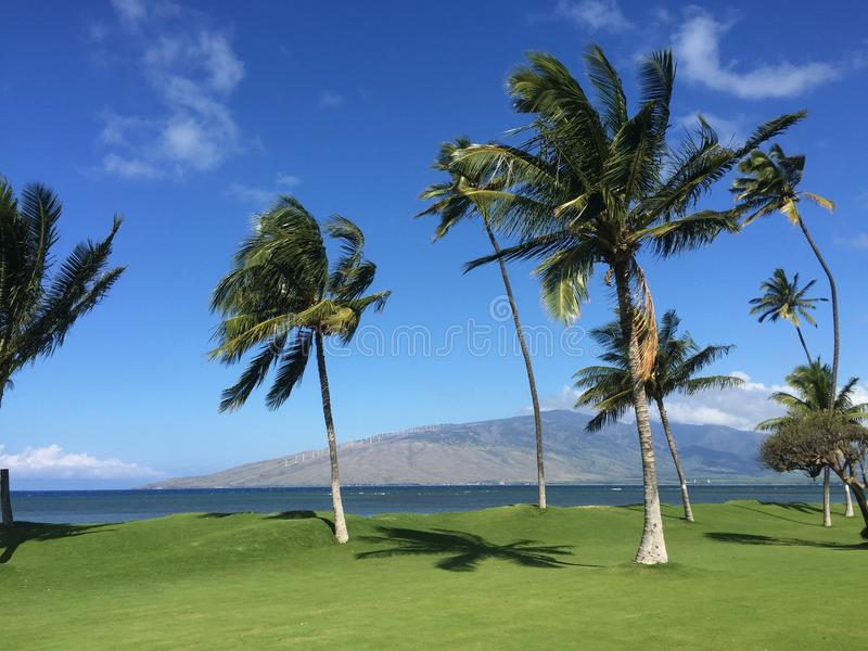Maui Palm Trees stock images