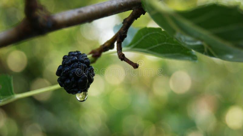 maulbeere Nach dem Regen lizenzfreie stockfotografie