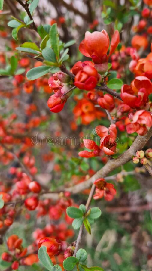 Maule`s quince royalty free stock photos