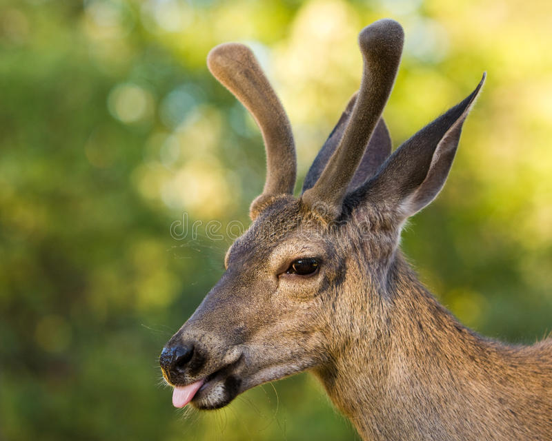 Maultier-Rotwild, die heraus Zunge haften lizenzfreies stockbild