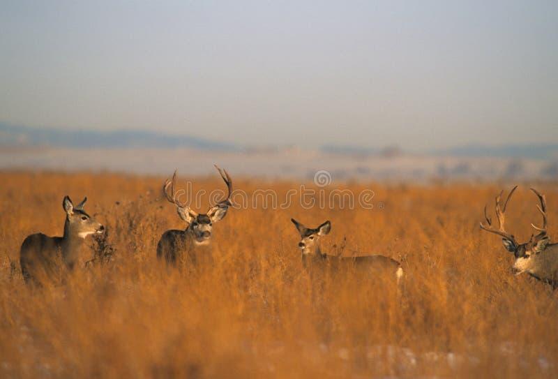 Maultier-Rotwild-Herde während der Furche stockbilder