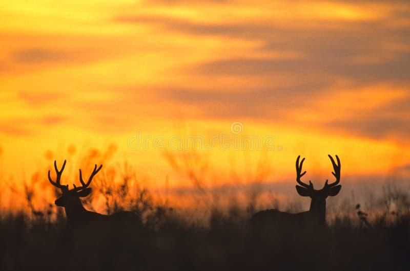 Maultier-Rotwild sträubt sich Silhoutted im Sonnenuntergang lizenzfreies stockfoto