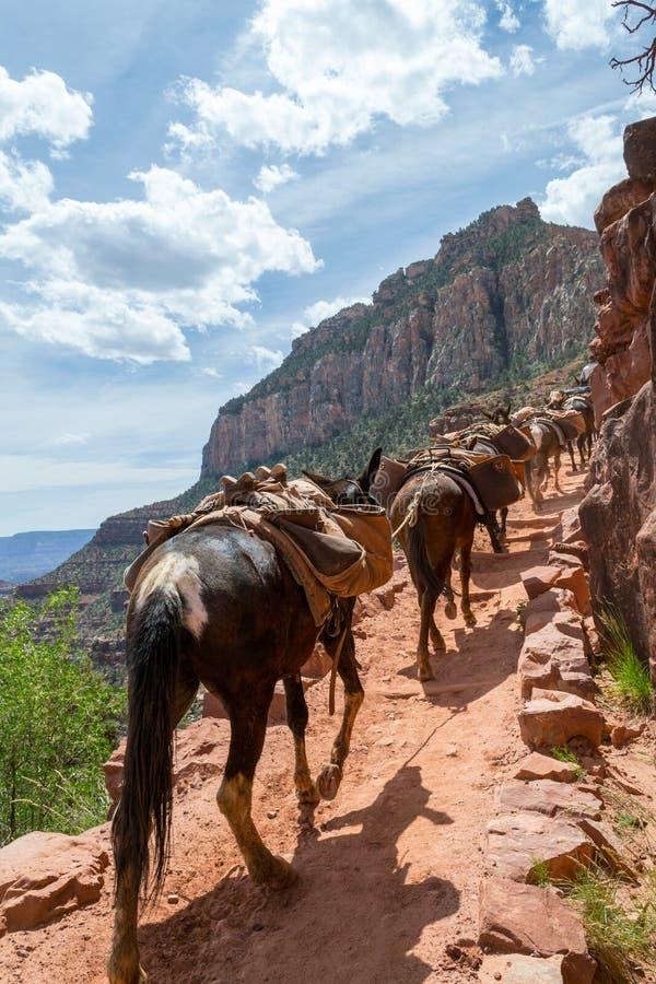 Maultiere in Grand Canyon lizenzfreies stockbild