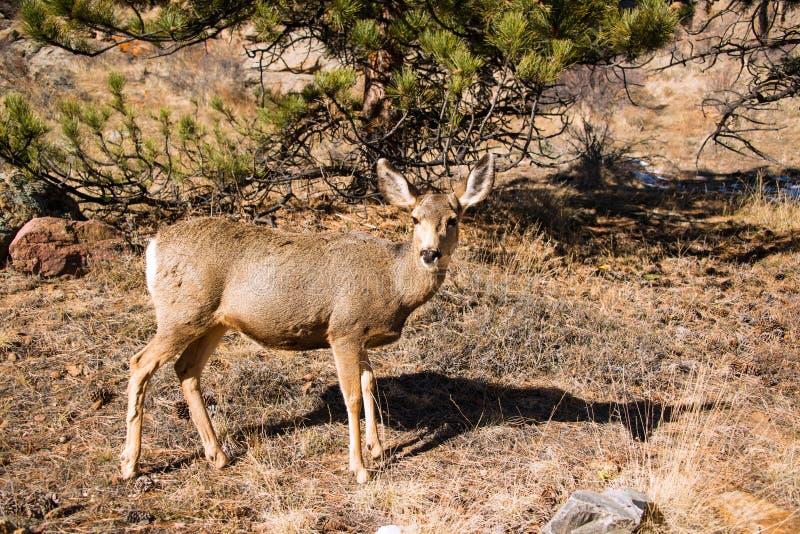 Maultierhirsch-Damhirschkuh, die über grasartige Wiese in Rocky Mountains geht stockbilder