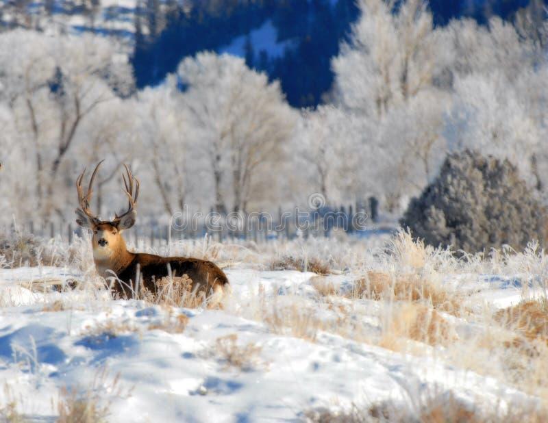 Maultierhirschdollar im Winter stockfotos