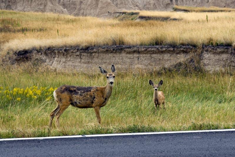 Maultierhirsche auf Straße versehen in den Ödländern Nationalpark, South Dakota, USA mit Seiten stockfotos
